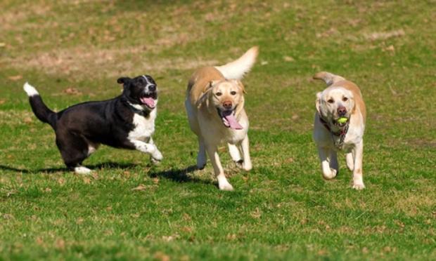 Service de Parcs à chiens