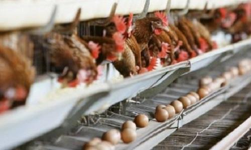 Sondage : Seriez-vous favorable à une interdiction de l'élevage en batterie des volailles françaises ?