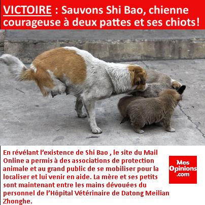 VICTOIRE : Sauvons Shi Bao, chienne courageuse à deux pattes et ses chiots